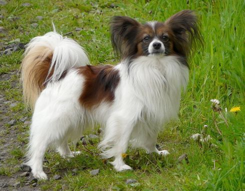 768px-Outdoor_Continental_Toy_Spaniel_Papillon